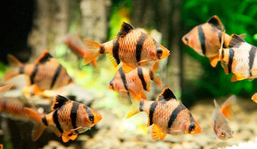 Барбус денисони: содержание и размножение в аквариуме, совместимость с другими обитателями, фото рыбка, а также правила кормления и история данного вида