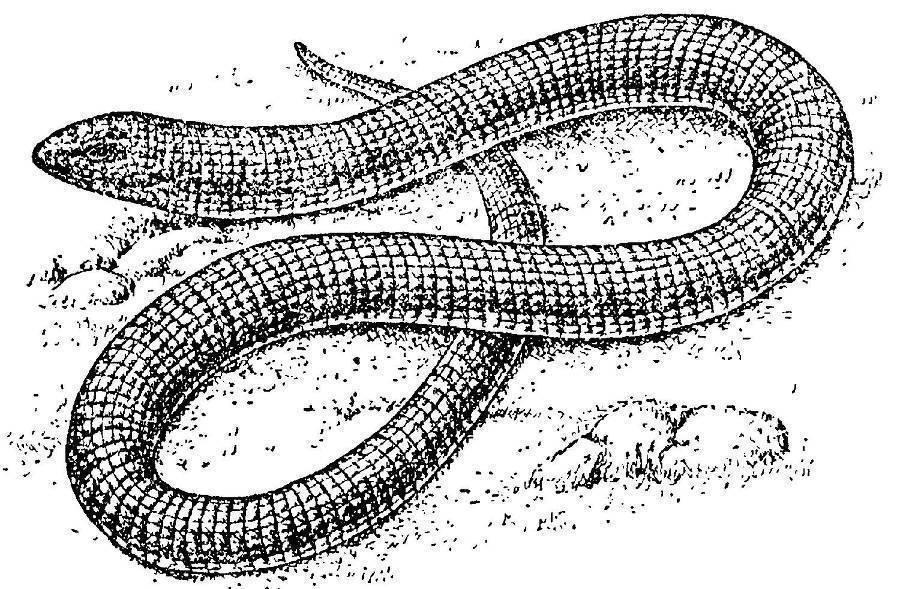 Медянка обыкновенная — змея или безногая ящерица, ядовитая, опасная или нет: краткое описание. чем отличаются змеи от ящериц, медянка от медяницы, веретеницы ломкой? как содержать и чем кормить медянку в домашних условиях? что будет, если укусит медянка?