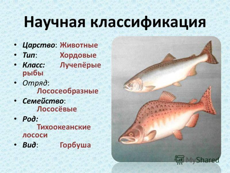 Лосось (лат. sаlmоnidае)