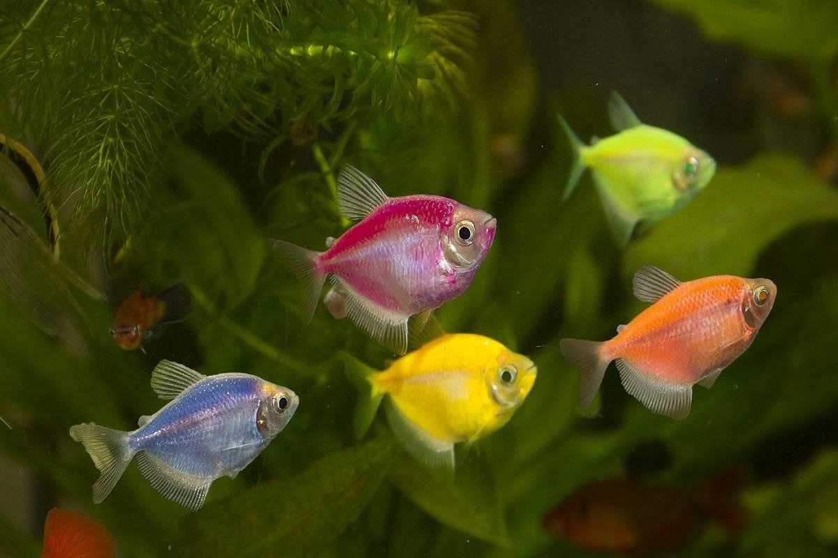 Аквариумная светящаяся рыба: виды, описание, содержание и уход