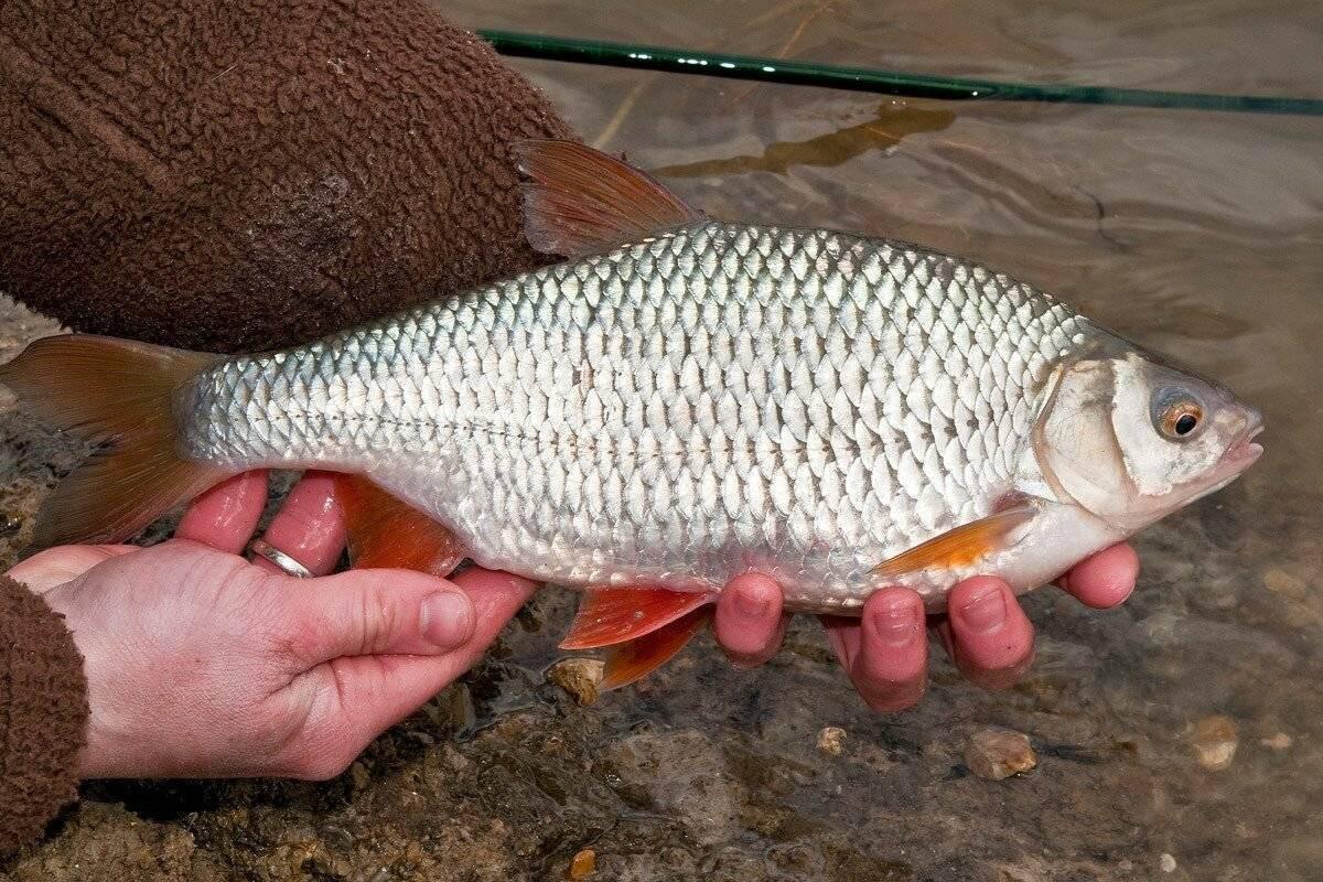 Вяленая рыба. рецепт в домашних условиях, польза и вред, фото