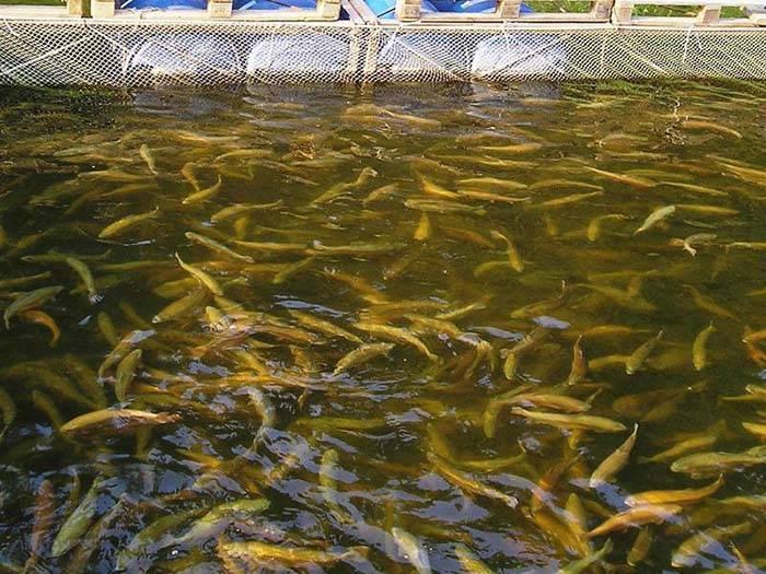 Разведение рыбы как бизнес с прибылью 176.000 рублей