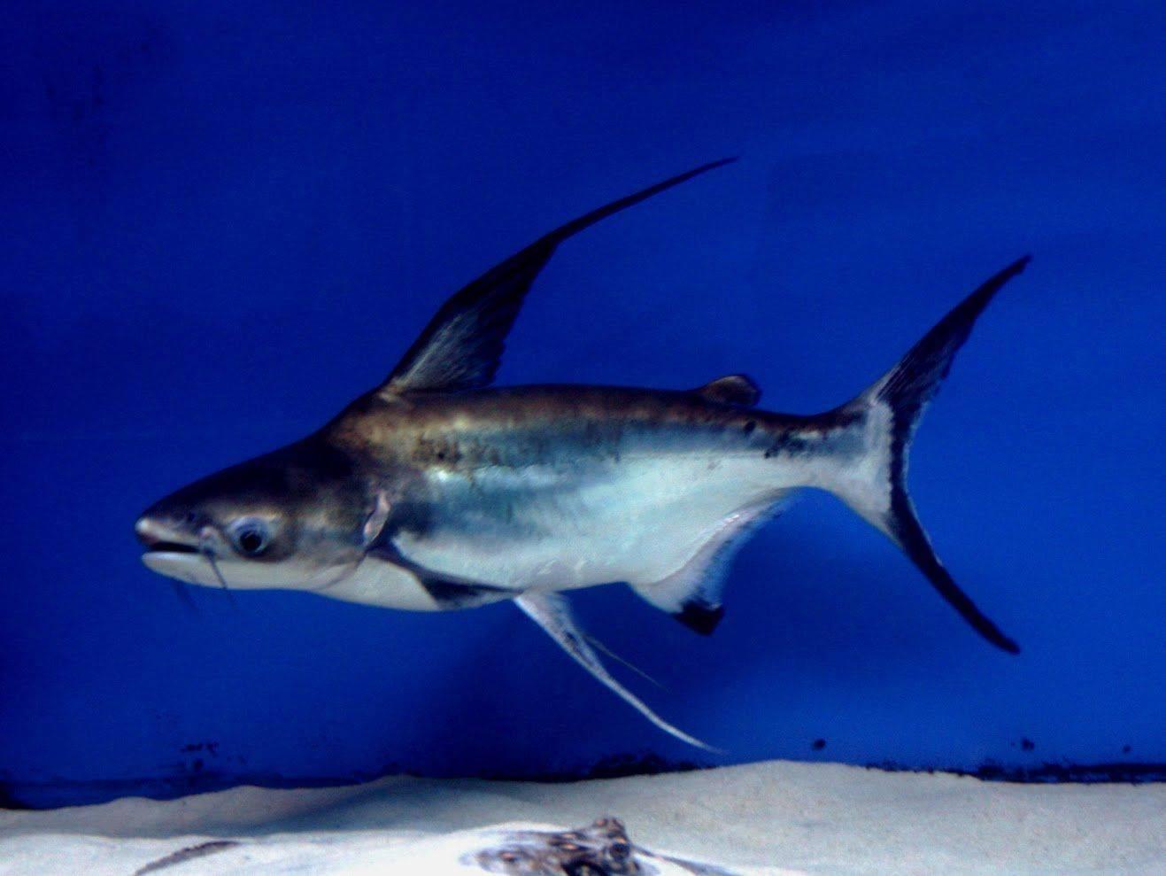 Акулий сом в аквариуме: как ухаживать и чем кормить