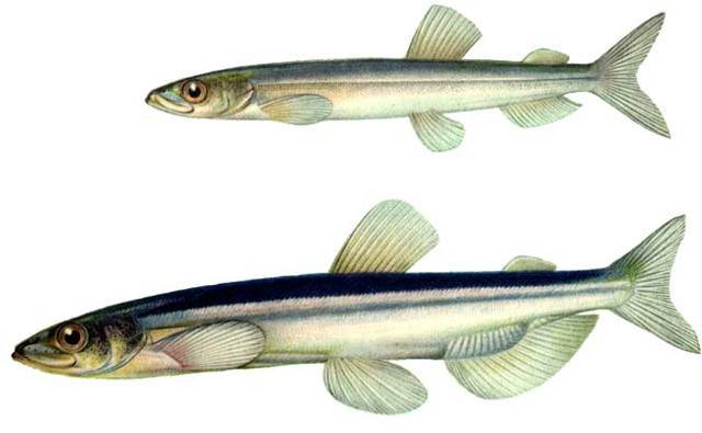 Рыба корюшка: описание разновидностей, где водится и чем питается, особенности рыбалки