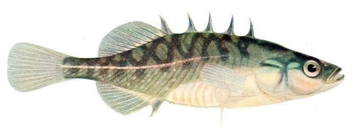 Колюшка трехиглая – крохотная рыбка, спасшая блокадников ленинграда