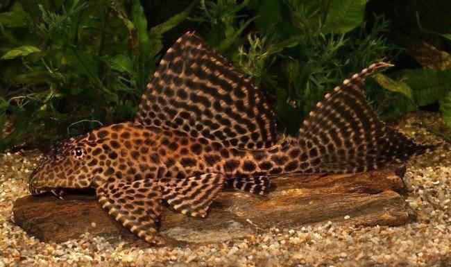 Парчовый сом (птеригоплихт): уход, содержание и размножение в аквариуме