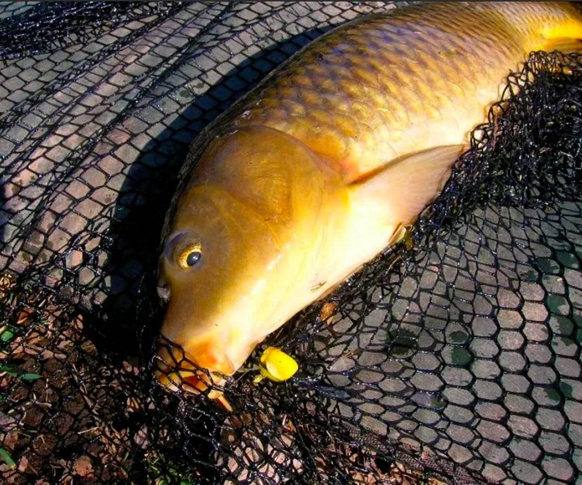 Рыбалка на сазана. советы бывалых рыбаков :: syl.ru