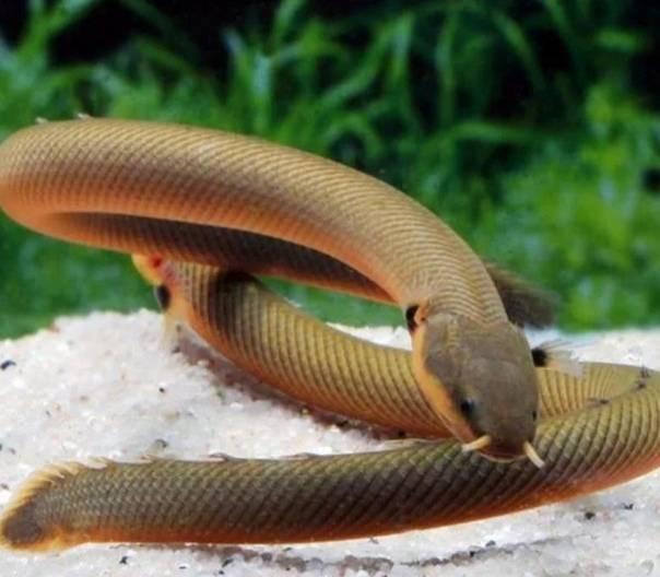 Каламоихт калабарский: рыба-змея, которую просто содержать