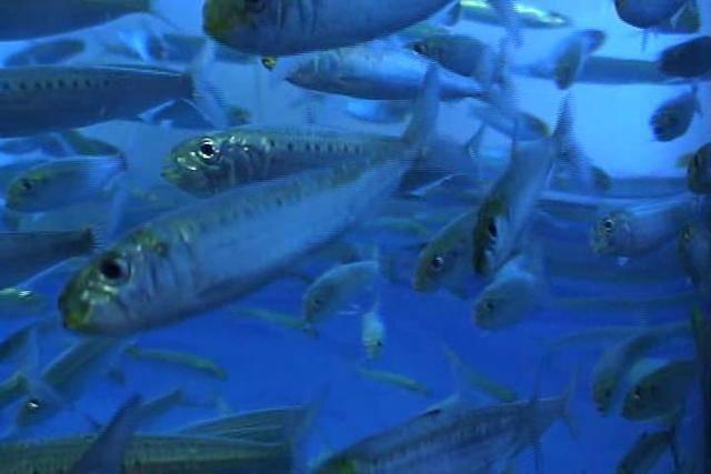 Промысловая рыба сибас
