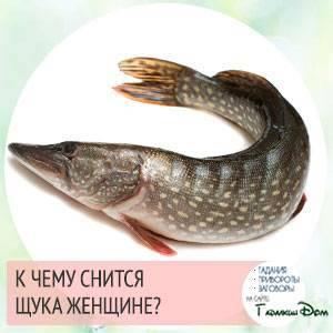 К чему снится щука: что это значит, большая, живая, в воде, плавает, кусает