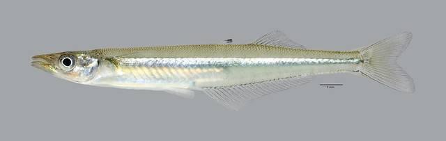 Морской окунь: описание, польза и вред, как поймать, рецепты