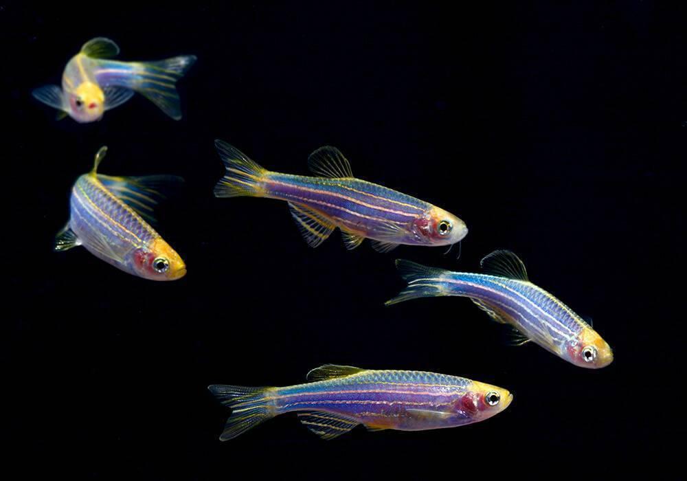 Скалярии: совместимость, уход и содержание аквариумной рыбки