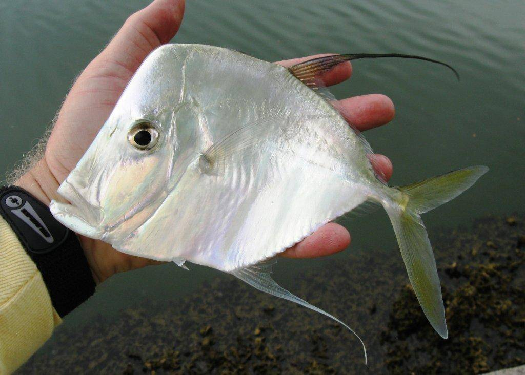 Рыба вомер: фото, где водится в россии, ядовитая или нет, как ловить