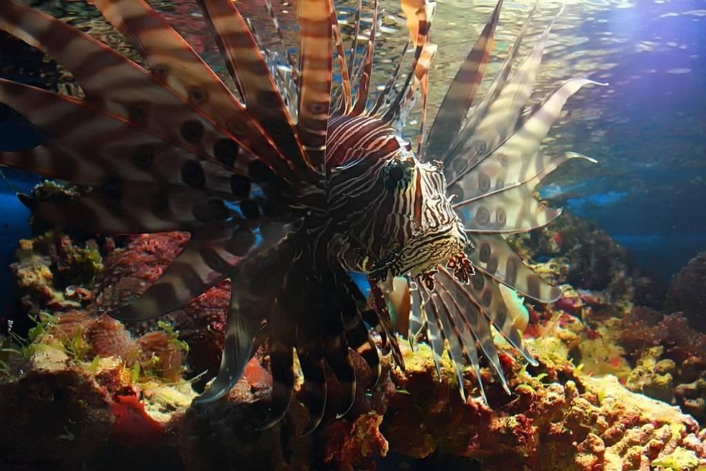 Рыба-лев. рыба-зебра. фото, описание