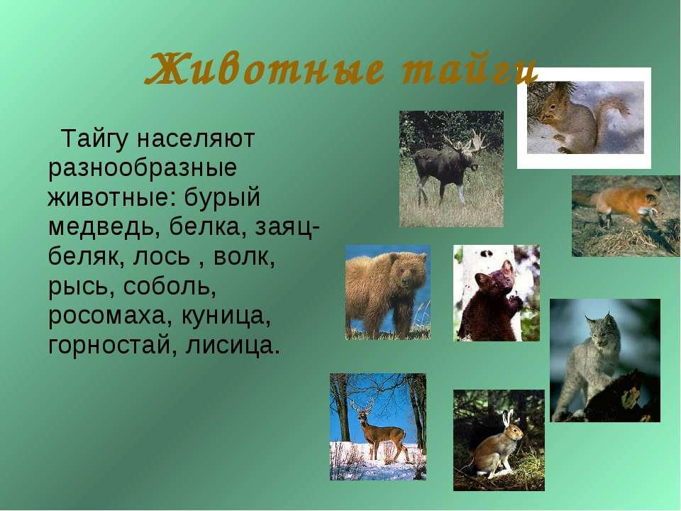 Природная зона тайга – характеристика и описание, животные