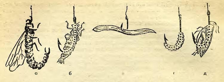 Стурисома панамская описание содержание разведение | аквариумные рыбки