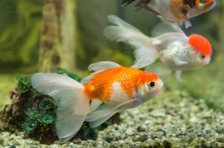 Золотые рыбки (74 фото): описание аквариумных рыб с названиями. какой должна быть температура воды в аквариуме? содержание и разведение