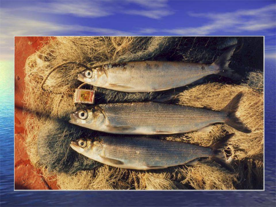 Рыба омуль: описание и особенности поведения