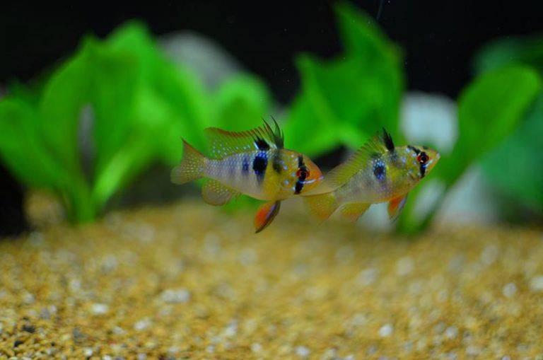 Апистограмма рамирези: описание и фото. содержание рыбок, разведение :: syl.ru