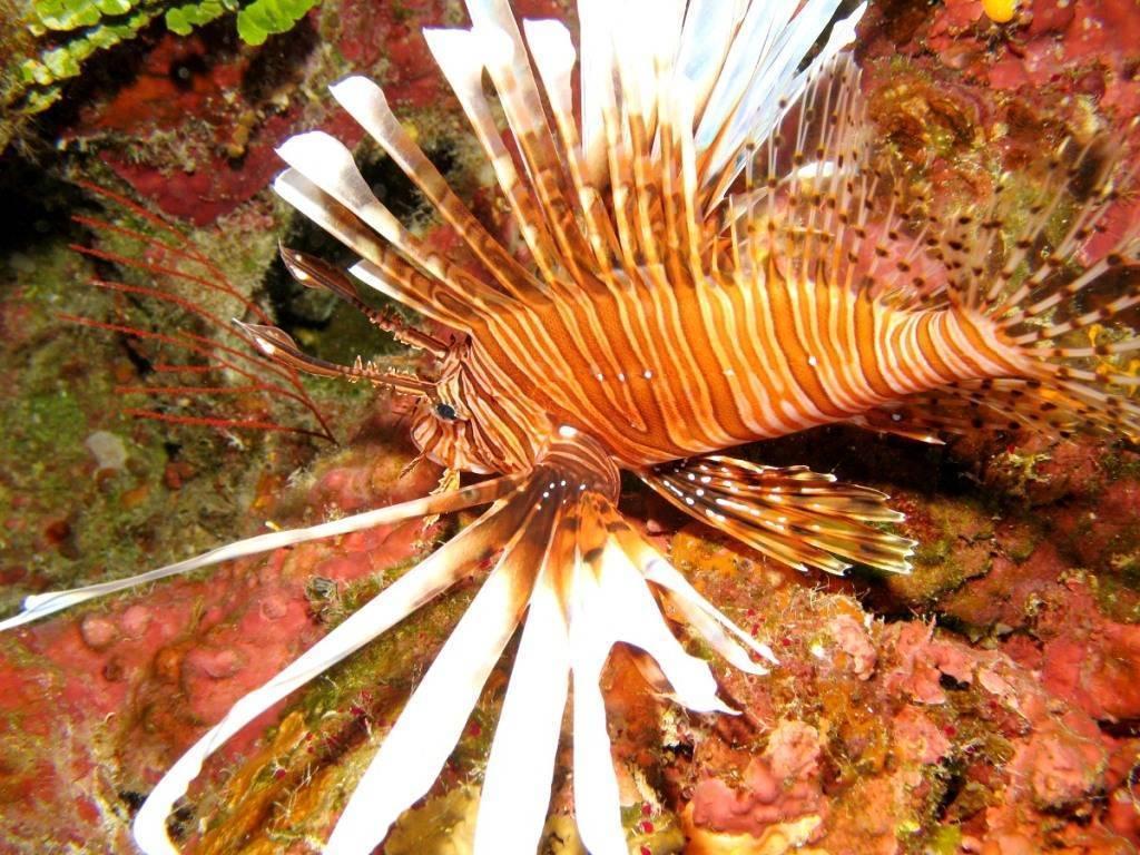 Рыба-лев: один из самых опасных обитателей подводного мира в лазаревском океанариуме «тропическая амазонка»