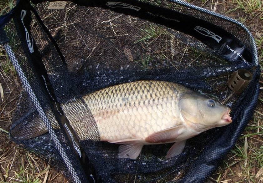 Как поймать осеннего сазана на большой реке, 9 золотых правил от никиты дюпина