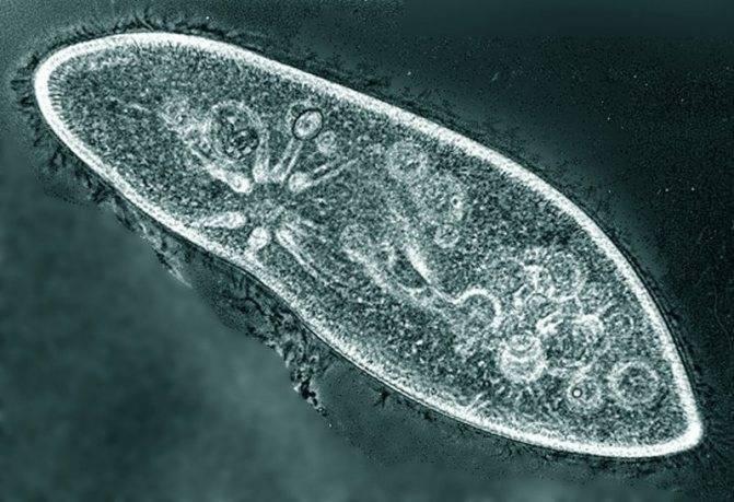 Инфузория-туфелька: чем питается, как передвигается и размножается, сколько живёт простейшее