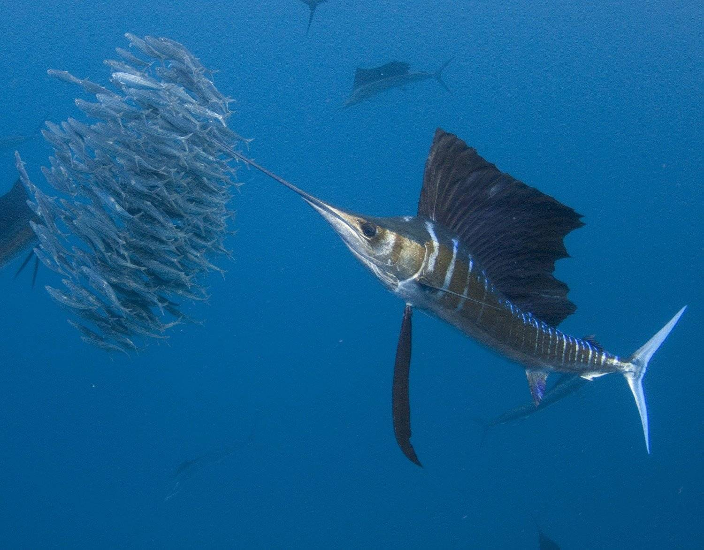 Какая рыба в океане плавает быстрее всех?)