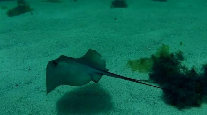 Скат морской кот или скат хвостокол