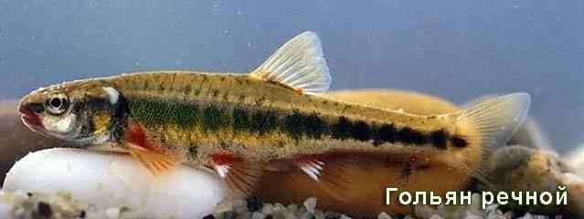 Полезнейшая рыба голец
