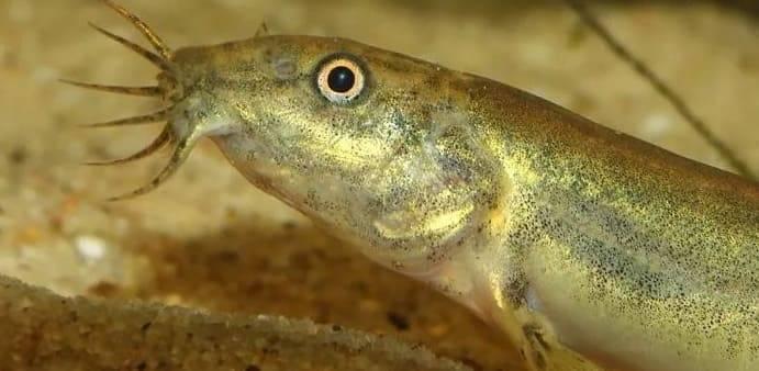 Вьюн речной, фото рыбы, описание семейства вьюновых