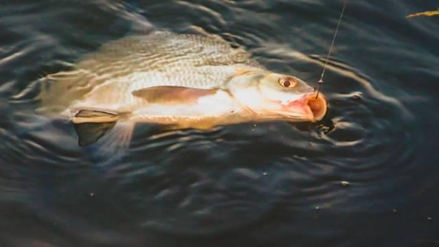 Как ловить леща на фидер: секреты крупного улова
