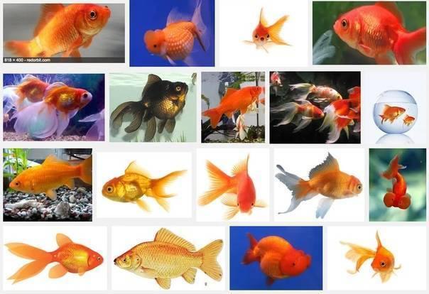 Аквариумная рыбка вуалехвост - уход и содержание