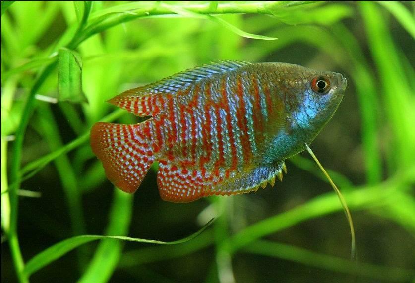 Рыбка лялиус: как содержать и ухаживать, чем кормить, с кем уживаются, отличия
