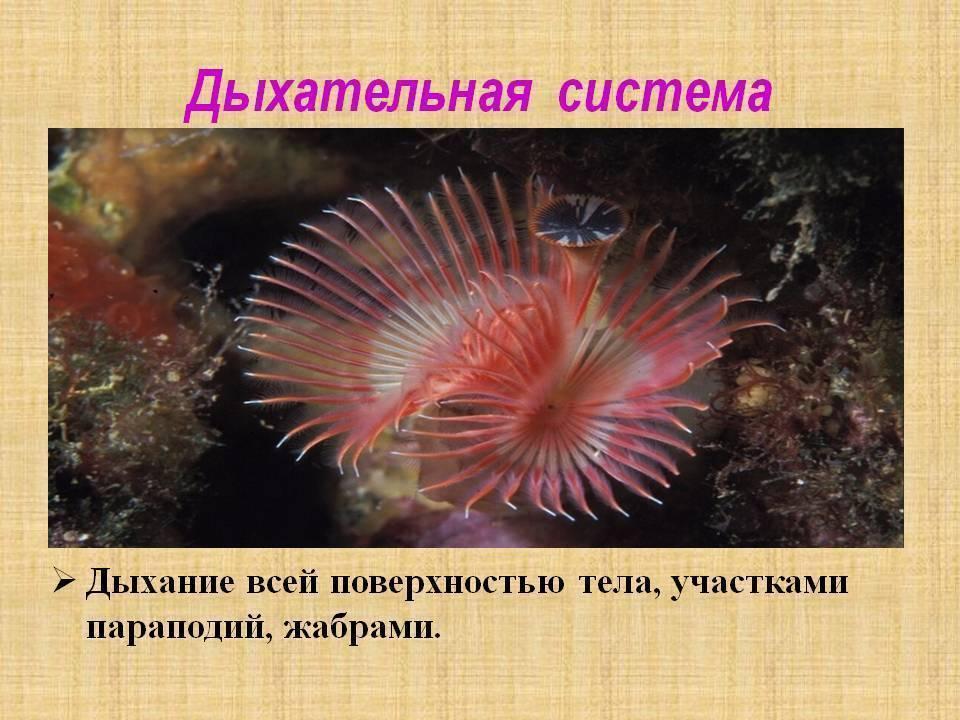 Морской червь нереис. описание вида