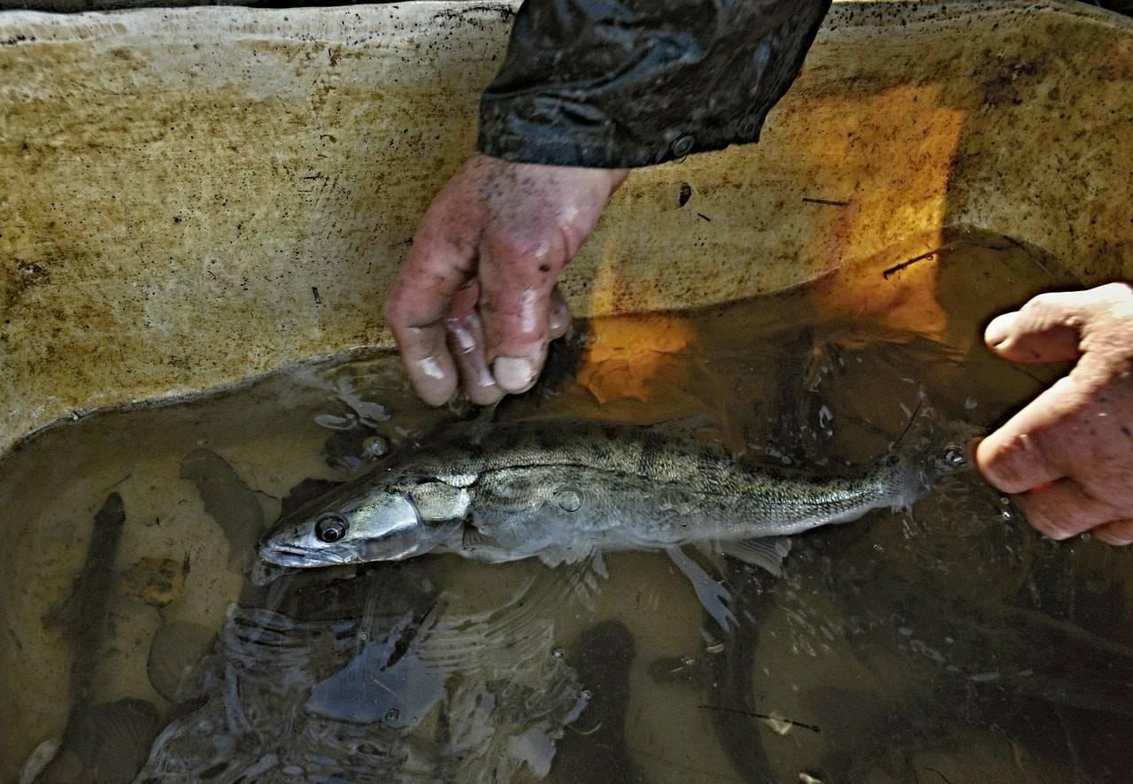 Выращивание рыбы как бизнес в домашних условиях