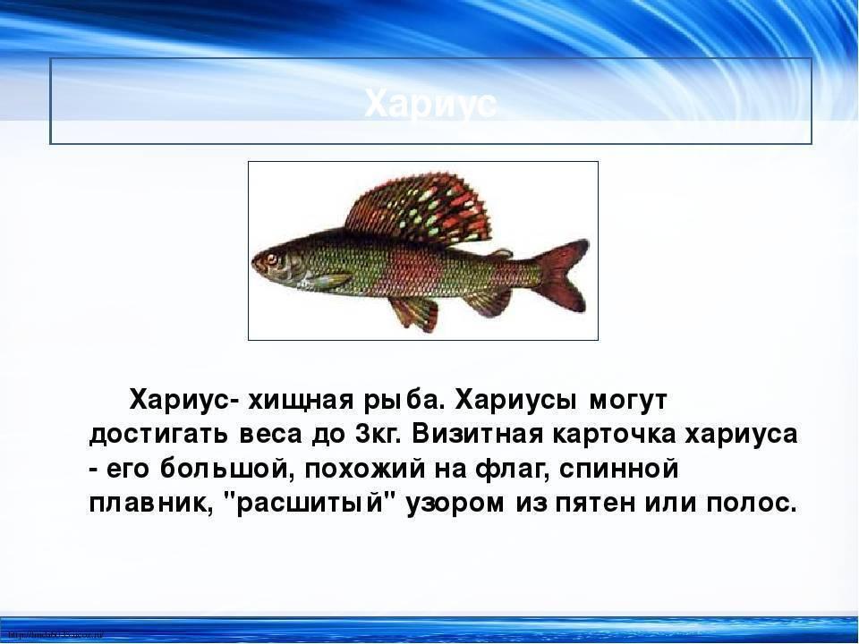 Хариус что за рыба, на что и когда ловить