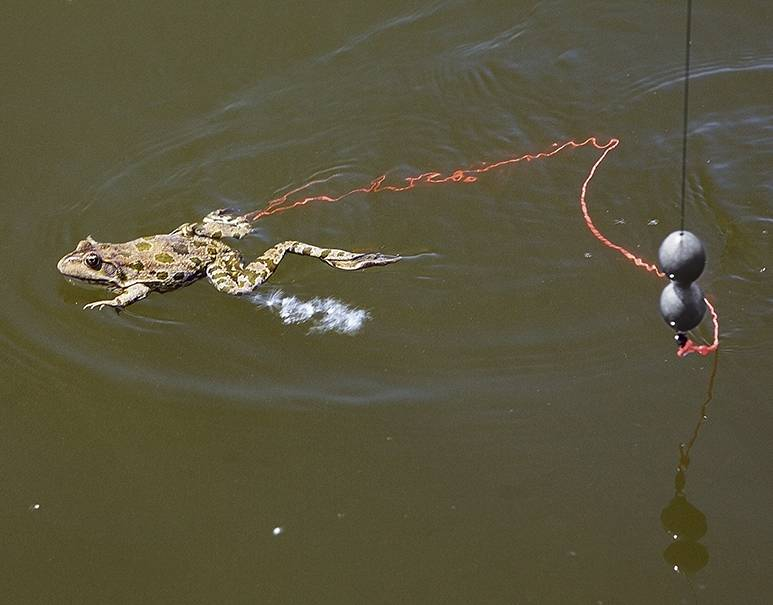 Ловля сома на лягушку с берега и с лодки — видео-урок