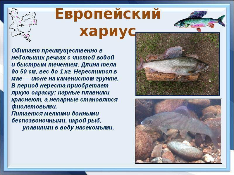 Рецепты из хариуса, 34 рецепта, фото-рецепты / готовим.ру