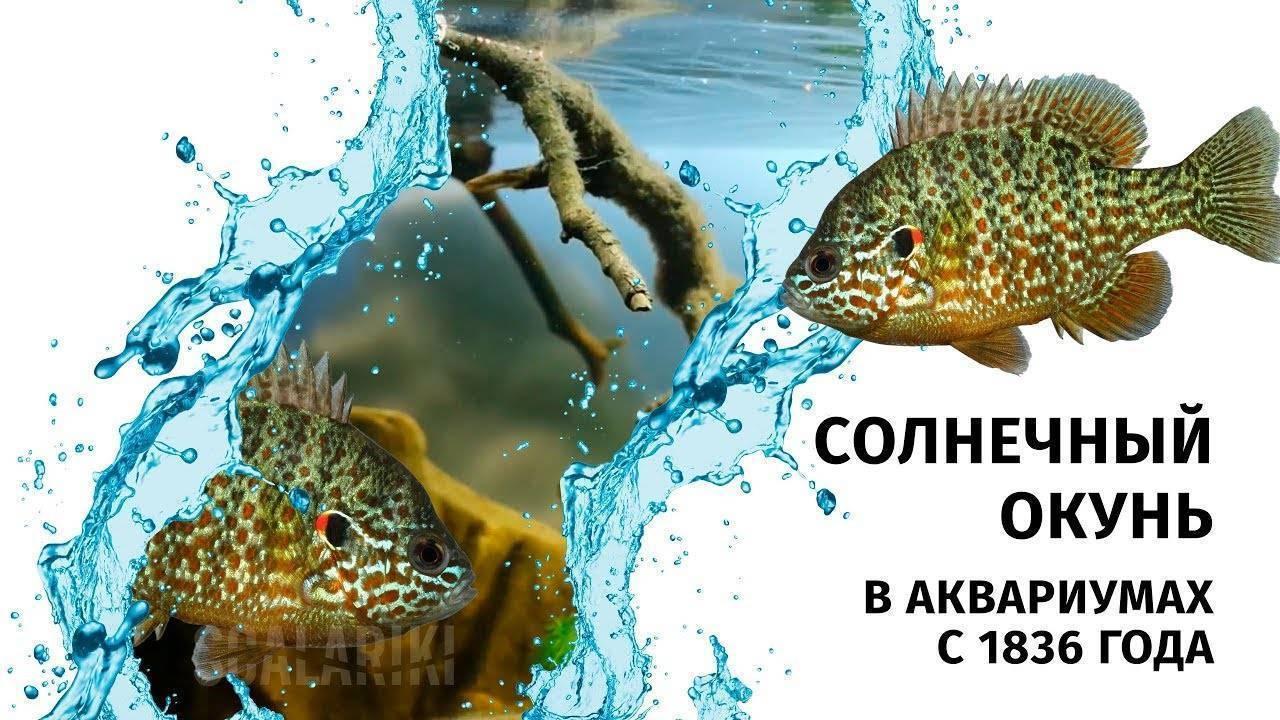 Стеклянный окунь — аквариумная рыбка