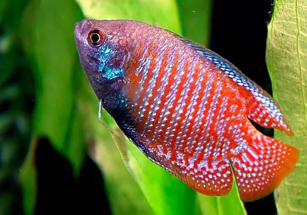 Прекрасная аквариумная рыбка лабео