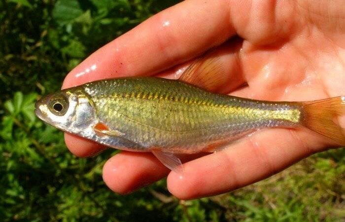 Щука морская (мольва): описание рыбы с фото
