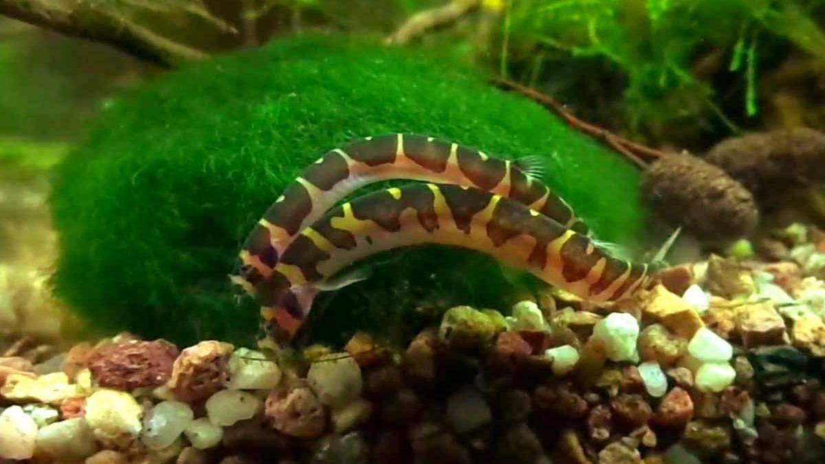 Полиптерус сенегальский: описание,содержание,кормление.