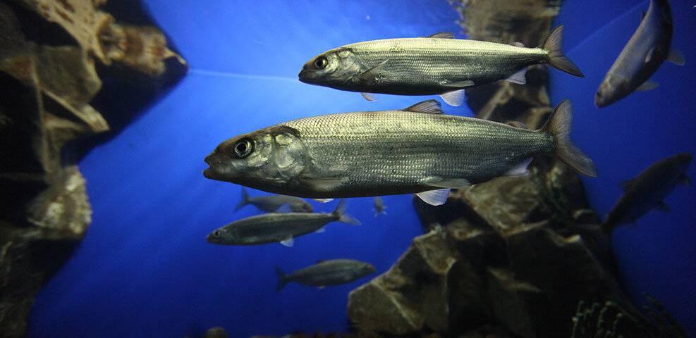 Рыба омуль: где обитает, как выглядит и каковы вкусовые качества