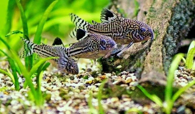 Сомики коридорасы: виды, уход и содержание в аквариуме