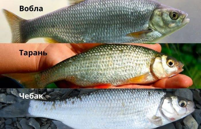 Рыба плотва: образ жизни и лучшие способы ловли
