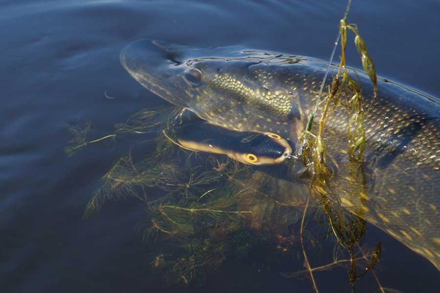 Ловля осенней щуки на малой реке спиннингом в октябре