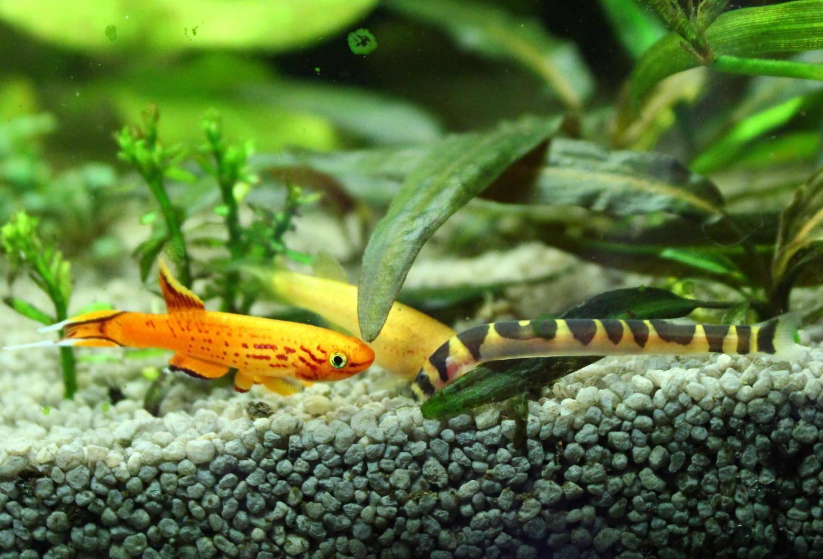 Каламоихт калабарский — уход и содержание в аквариуме