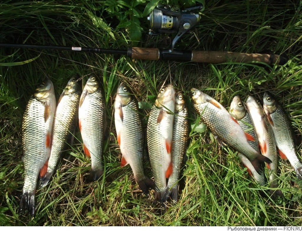 Платная рыбалка в дмитровском районе - рыба