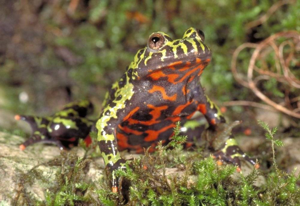 Размножение лягушек: когда лягушки откладывают икру? размножение лягушек, где они откладывают икру соитие - амплексус.