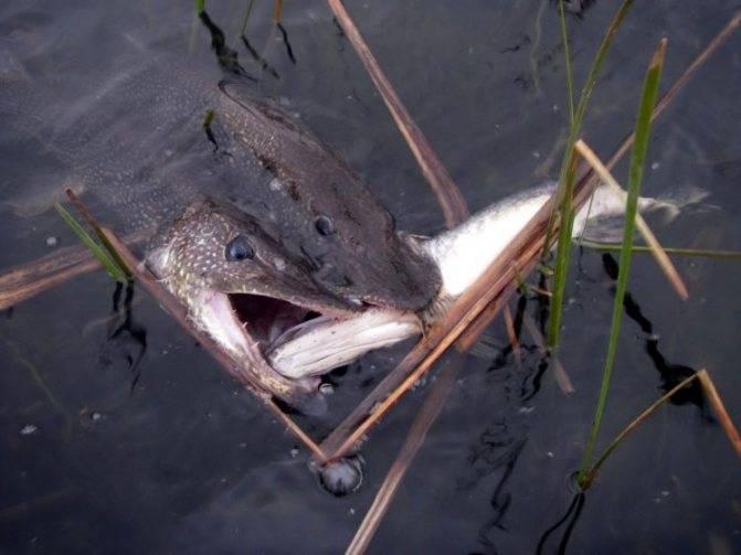 Рыба щука - наша пресноводная акула.